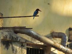 Kuningaskalastaja.  Kingfisher.   Gokarna 31.1.