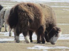 Tätä karjaa ei pakkanen pure.  This cattle is not freezing.   Terelj  23.3.