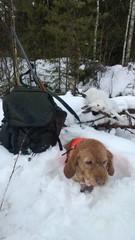Elsa jatkaa isännän kanssa tappavaa tahtiaan. Joulukuu 2013, Great Griffin Cata. (Markku Rajanen)