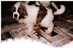 japstiffin a-pentueen koiria kuva2 .kev�t-94