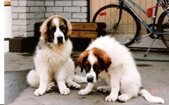 japstiffin a-pentueen koiria kuva4 .kev�t-94