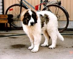 japstiffin a-pentueen koiria kuva6 .kev�t-94