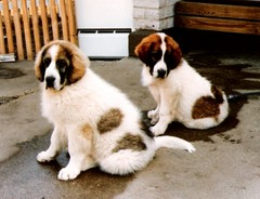 japstiffin a-pentueen koiria kuva7 .kev�t-94