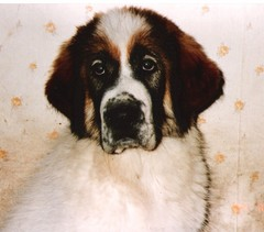 japstiffin a-pentueen koiria kuva8 .kev�t-94