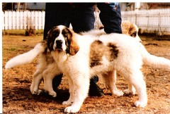 japstiffin a-pentueen koiria kuva9 .kev�t-94
