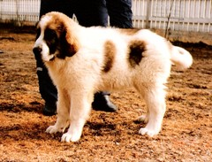 japstiffin a-pentueen koiria kuva10 .kev�t-94