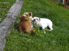 barbo ja belissa koiram�ell� 18.6.2008 kuva2