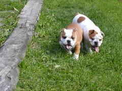 barbo ja belissa koiram�ell� 18.6.2008 kuva3