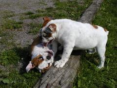 barbo ja belissa koiram�ell� 18.6.2008 kuva4