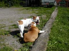 barbo ja belissa koiram�ell� 18.6.2008 kuva5