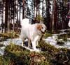 hopevuoren cascal maaliskuunloppu-90 kuva2
