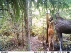 Ainakin yksi vasa löytyy metsästä!