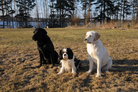 labradorit ja suuri johtaja3