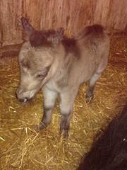 Kissankulman Wilma, syntynyt 13.11.2012