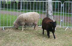 Lampaitaki mukaan, tottakai :)