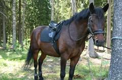 Sulo, myös omalla hevosella voi osallistua maastoomme :)