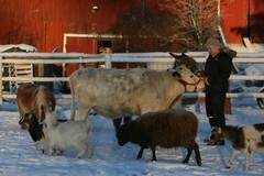 Kaisu ja eläinpihan eläimiä, meillä eläimet asuvat ympäri vuoden! :)