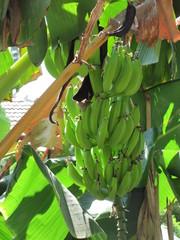 Tuoreita banaaneja tarjolla