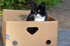 Laatikko kissa Voitto
