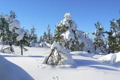 Lumen painamia puita