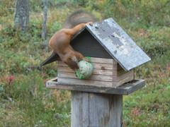 Ahmatti orava lintulaudalla