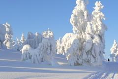 Tykkylumisia puita Luostolla