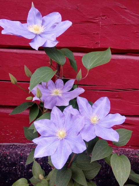 maenpaan_kukkia.