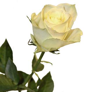 isoa munaa keltainen ruusu helsinki