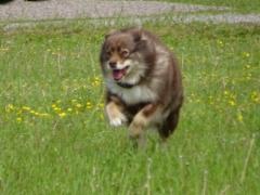Lentävä koira
