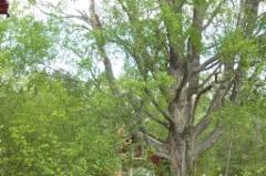 Metsuri kiipesi koivuun sahaamaan oksia.