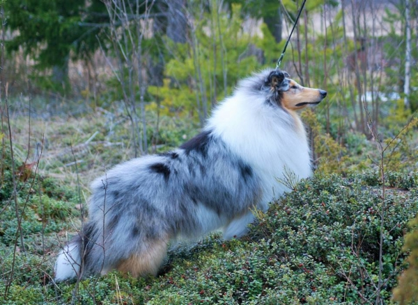 Pitkäkarvainen collie, Leaftribe All Eyes On Me