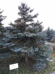 Presidentti Halosen istuttama kuusi / A tree planted by President Tarja Halonen