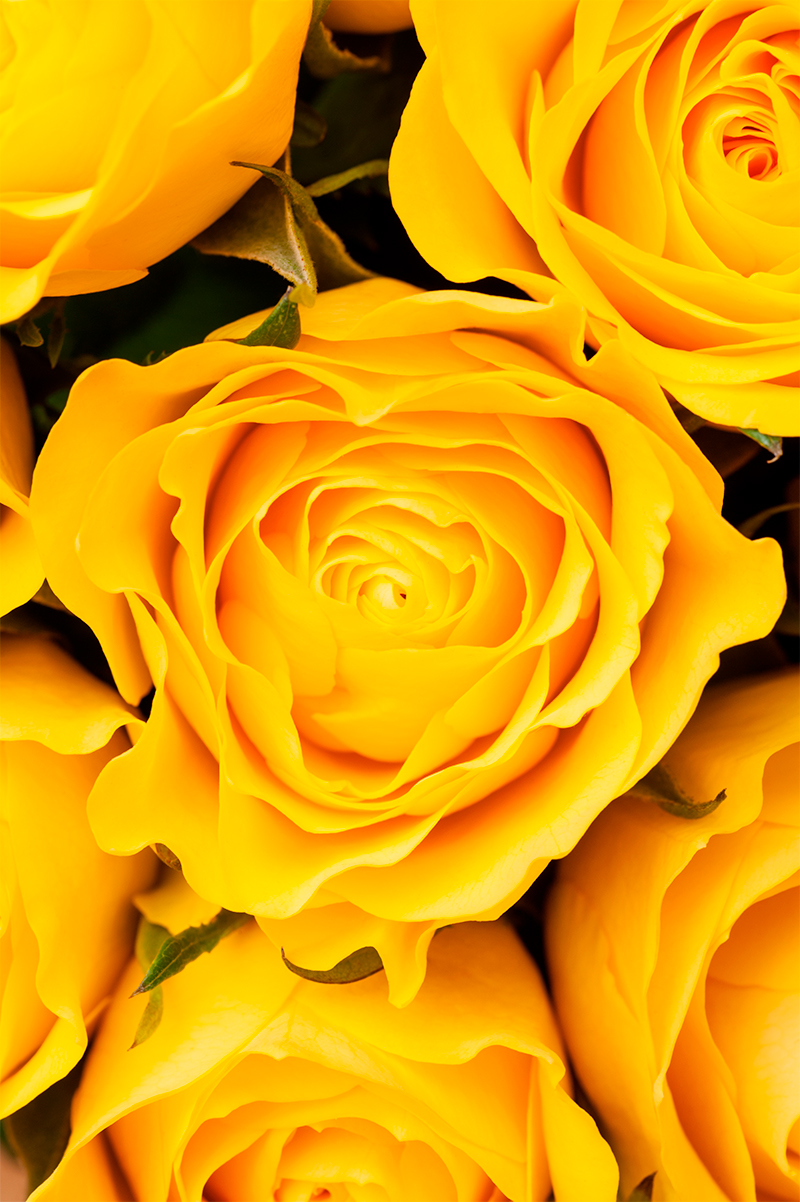 yellow-roses-background-PQQZPBH.jpg