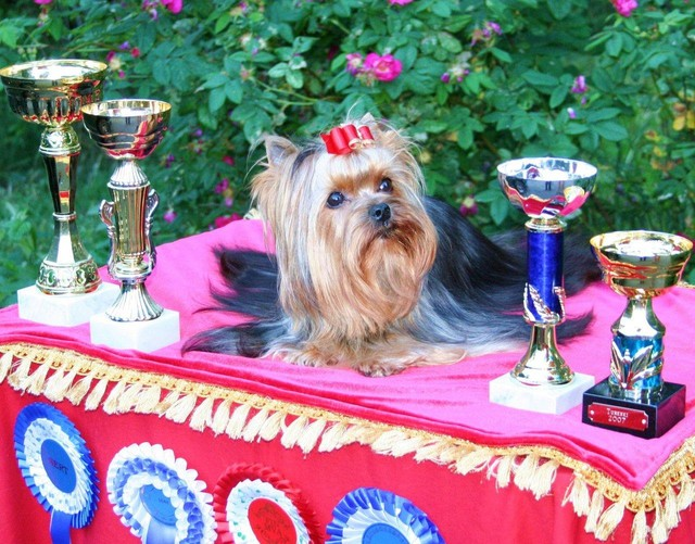 FIN CH Magic Minidog Olivia