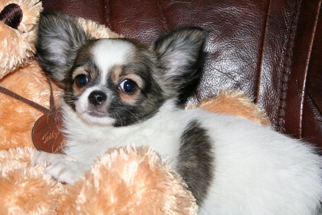 Magic Minidog Special Angel