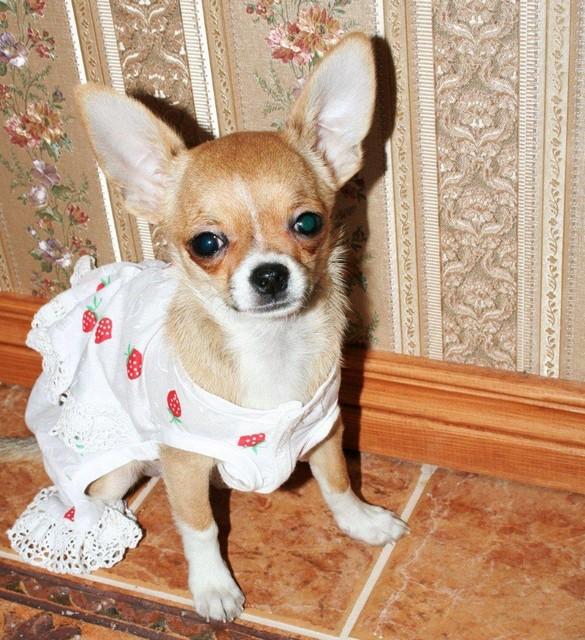 Magic Minidog Tiramisu