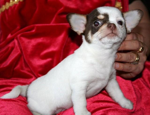Magic Minidog Choko King