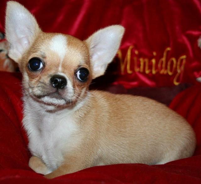 Magic Minidog He`s A Keeper