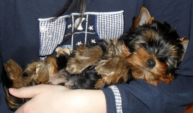 Magic Minidog Mr.Lucky One-Aapo