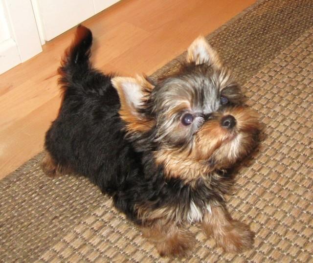 Magic Minidog Name Is a Bond- Elvis