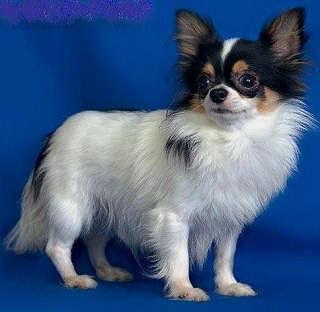Multi & Inter  Ch Magic Minidog Heartbreaker- owner Larissa Shahmatova
