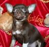 Magic Minidog Chocolate Charity 7 vk