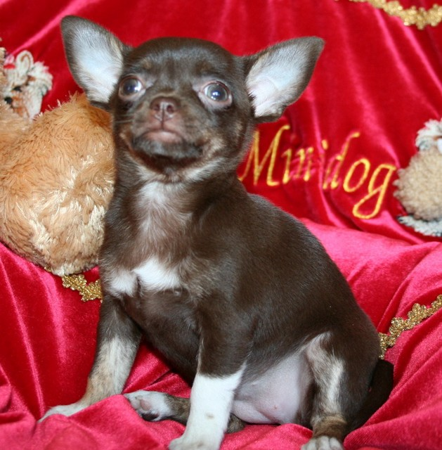 Magic Minidog Chocolate Charity  8 vk