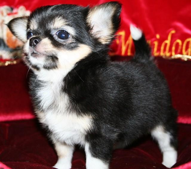 Magic Minidog Black Samantha