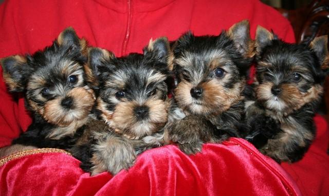 Olivia & Paganini  puppies 8 week`s