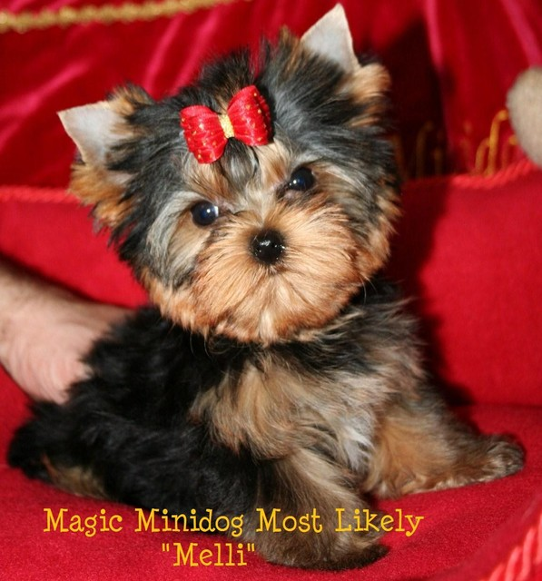 Magic Minidog Most Likely - Melli