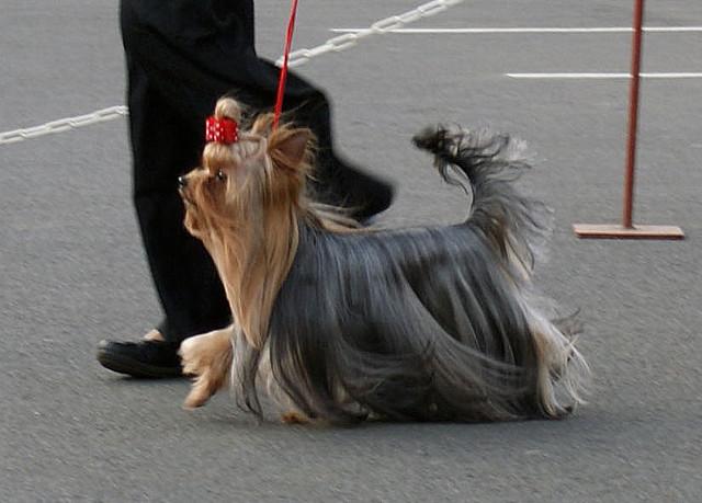 Escort in Russian Dogshow