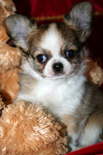 Magic Minidog All Sweet
