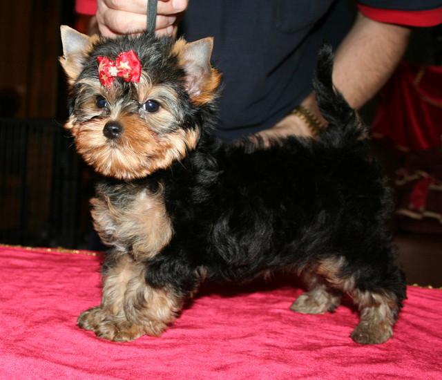 Magic Minidog Easy To Love