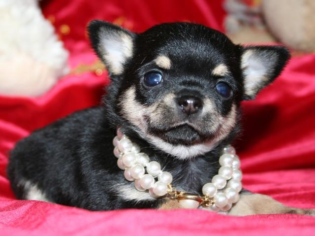 Magic Minidog Classical Cute 6 viikkoa
